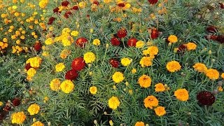 143# marigold flower information in Hindi || collect marigold seeds for next year
