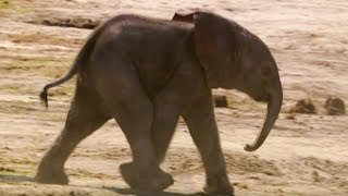 Baby Elephants First Water Trip | The Long Walk Home | BBC Earth