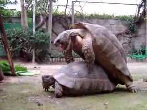 Xxx Mp4 Las Tortugas Locas Turtle Sex 3gp Sex