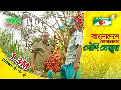 Motaleb grows Saudi dates (খেজুর) in Bangladesh