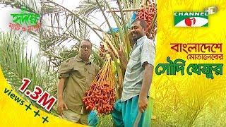 Motaleb grows Saudi dates (খেজুর) in Bangladesh