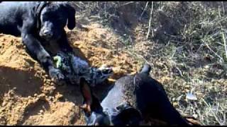 Dobermann y Labrador (Cloe y Oker) enguarrinandose