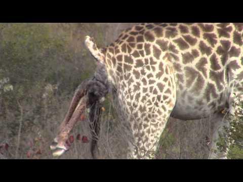 Xxx Mp4 Incredible Giraffe Giving Birth In The Wild 3gp Sex