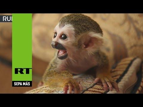 Xxx Mp4 Rusia Una Gata Adopta A Un Mono Ardilla Rechazado Por Su Madre 3gp Sex