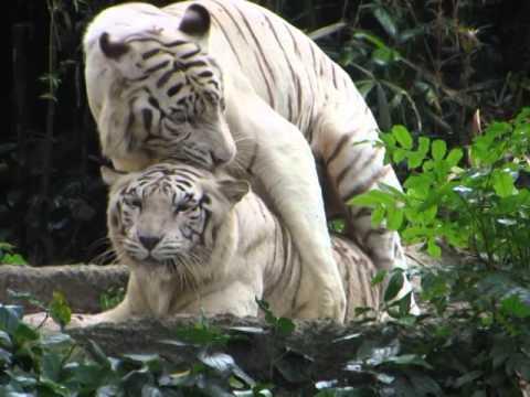 video clip - tigers having sex - singapore zoo - sidneysealine