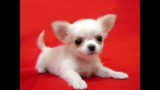 Cute And Funny Chihuahua Dog Videos 2017
