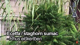 Ecetfa/staghorn sumac- Rhus előkertben