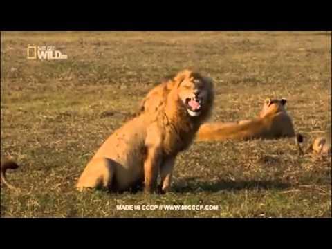 El león que se ríe solo y todos los miran