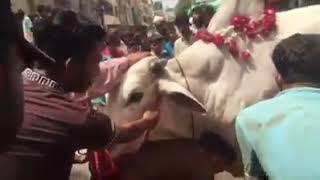 Sibbi bull qurbani at jamsed road 2k17