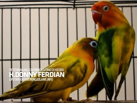 KISAH SUKSES : Panen Duit Milyaran Tiap Bulan Dari Ternak Lovebird