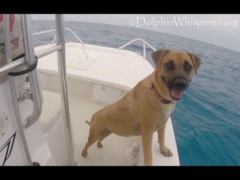 Dog sees Wild Dolphins from boat; swims over to join them!