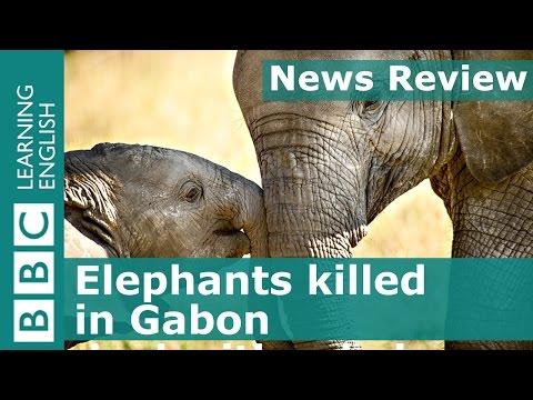 BBC News Review Elephants killed in Gabon