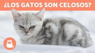 ¿Los gatos son celosos? - ¡TODO SOBRE LOS CELOS EN LOS GATOS!