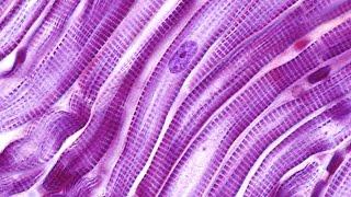 Human Physiology - Cardiac Muscle