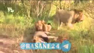 لحظه شکار شیر توسط دوستانش