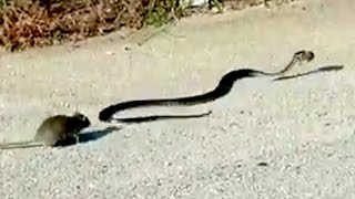 Great Mother Rat fight with snake and save her baby