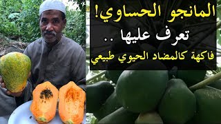 تعرّف على المانجو الحساوي !! فاكهة كالمضاد الحيوي الطبيعي | سناب الاحساء