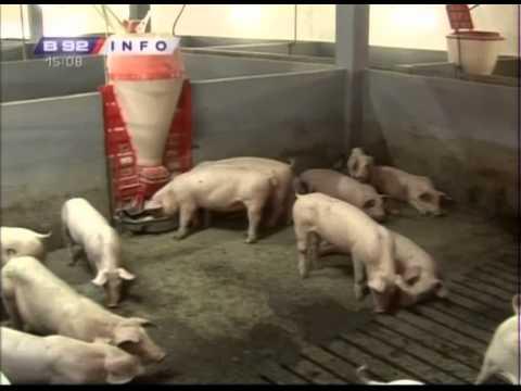 Moderna a mala farma svinja