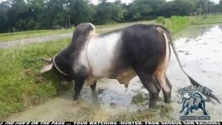 Sylheti Bisal HUNTER Biswanath -Shudurgaw 2016