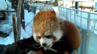 腕に乗ってお食事中 レッサーパンダのライラ Redpanda