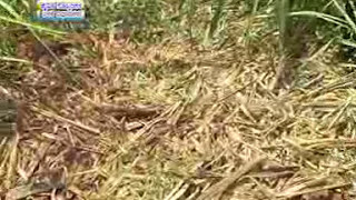 05 09 2013 methods of biofertilizers application dr geetha goudar and dr m s ramachandra's experienc