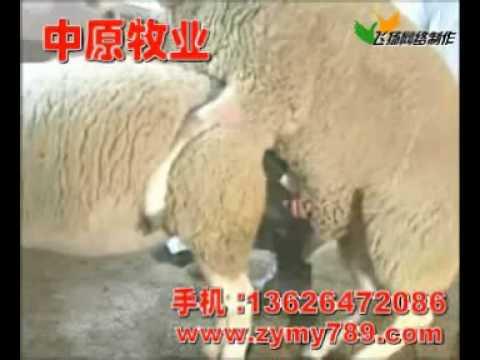 肉羊 波尔山羊 肉牛 羊的人工受精