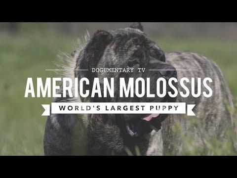 Xxx Mp4 AMERICAN MOLOSSUS THE WORLD 39 S LARGEST PUPPY 3gp Sex