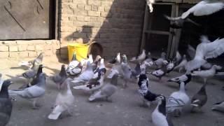 Afridi pegion peshawar, Pakistan, my racing pegion