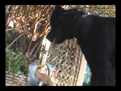 Pelea de Perros Chihuahua Contra Rottweiler