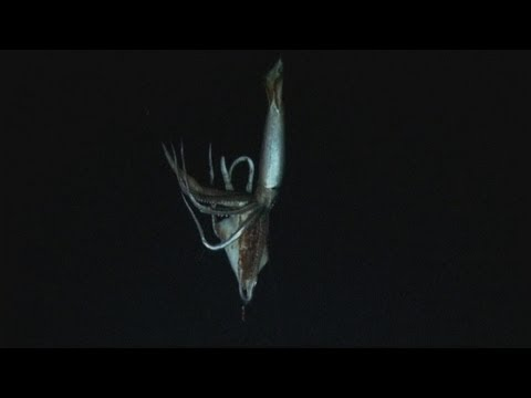 AMAZING VIDEO: Giant squid filmed in deep sea habitat for the first time