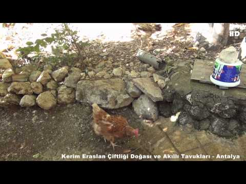 Kerim Eraslan Çiftliği Doğası ve Akıllı Tavukları Antalya
