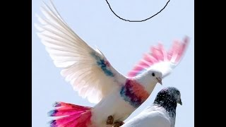 Pigeon Show Homing Pigeon Races | High flying pigeon & Millionaire Pigeon Racers | Fun_Entertainment