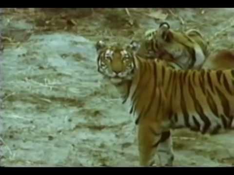 Predadores Selvagens Tigre