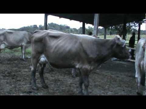 Vacas Suizas de Ganadería el Trebol