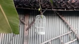 Blackthroat Ngerol Panjang Umur -+ 5 Bln Download Mp3 Mp4 3GP HD Video