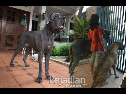 Meet ILLIA The World's Tallest Female Dog from Indonesia