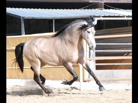ESTIMADO caballo bayo pura raza española caballo pre