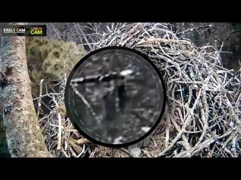 Bigfoot Sighting on Michigan Live Eagle Cam