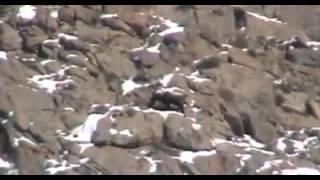 Hunting of Markhor In Gilgit Baltistan