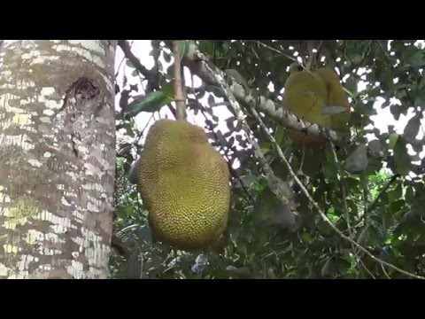 Xxx Mp4 Jackfruit Viagra Natural O Jaca Ecuador 3gp Sex