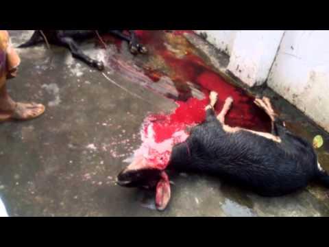 Kurbani 5ta goat 2015 amar basar chade