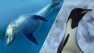 Emperor Penguins v Leopard Seal   Blue Planet   BBC Earth