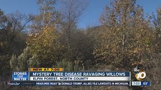 Mystery tree disease ravaging willows