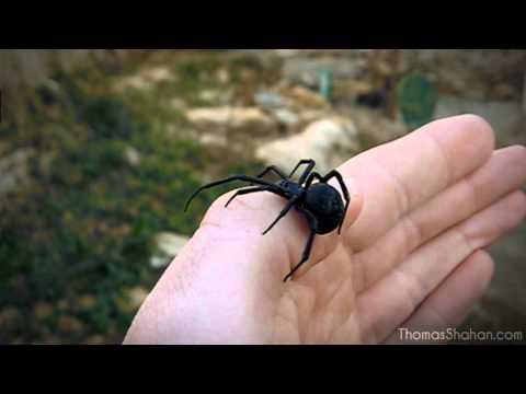 Handling a Female Black Widow Spider Latrodectus mactans