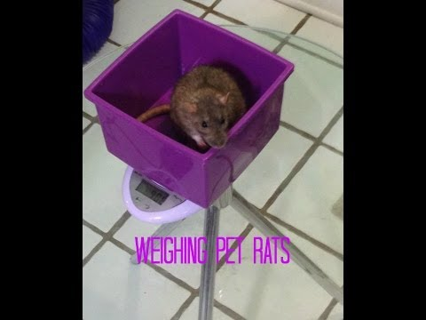 How/Why to weigh pet rats