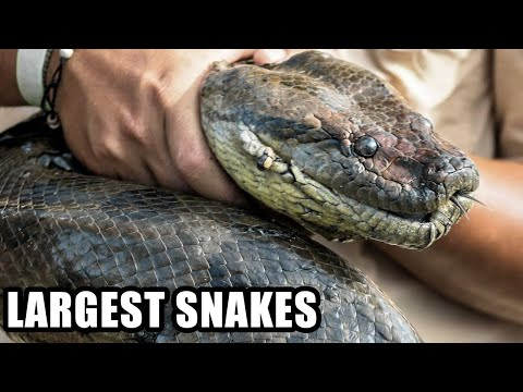 Biggest Snakes on Planet Earth Real and Fake