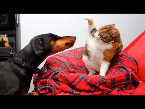 Angry Cats VS Dogs Funny Compilation 2019