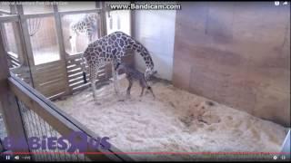 And Baby Makes Three - Animal Adventure Park Harpursville, NY - 4/15/17