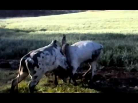 Briga d touro nas vargens do rio Izulina
