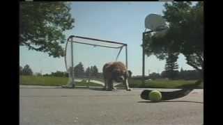 Sports Playing Golden Retriever